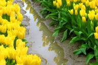Yellow Tulips Reflected in a Puddle. Photo by Karen Molenaar Terrell.